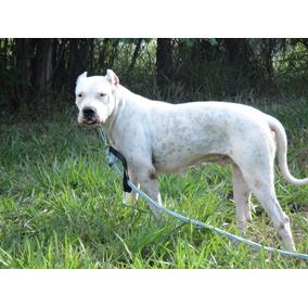 Dogo Argentino, Filhote Macho Totalmente Branco, Pedigree