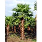 Mudas De Washingtonia Robusta ( Importada ) Palmeira De Saia no ... 6cb584b785fcc