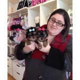Cachorros Yorkie De Raza Pura Para Adopción