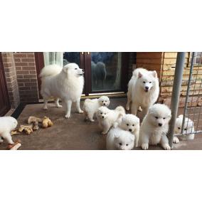 Cachorros De Samoyedo Mejor Entrenados En Casa