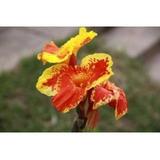 Bulbos (raiz) De Plantas Ornamentales