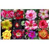 30 Sementes Rosa Do Deserto Adenium Importadas P/mudas