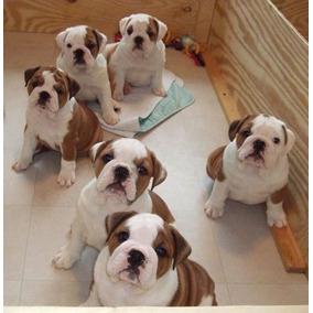 063763384e99b Perro En Adopcion Bulldog Frances en Mercado Libre México