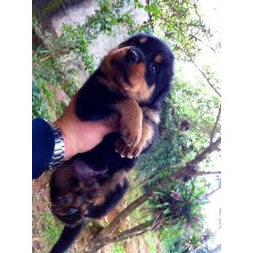 Lindos Filhotes Rottweiler Alemão Grande C/pedigree Confira