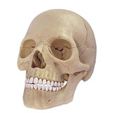 Cráneo Humano Desarmable 4d Master Esqueleto Anatomia