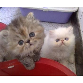 Gato Persa Os Gatinhos Mais Lindos