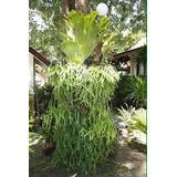 Samambaia Chifre De Veado-sementes Para Mudas