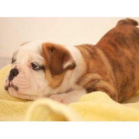 Filhote Bulldog Ingles - 1ª Ninhada - Linhagem Impecável