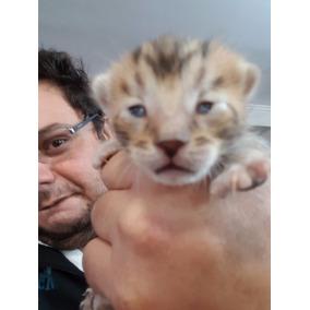 Gato Bengal, Puro Linhagem Brown Spotted Puros Com Pedigree