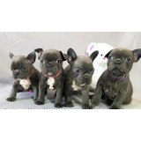 Bulldog Francés Cachorros En Adopción