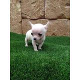 Chihuahua Tacita De Té