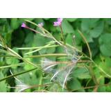 1 Planta De Epilobio Parviflorum.
