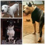 Venda De Filhotes Pit Bull American Starfodshire Terrier