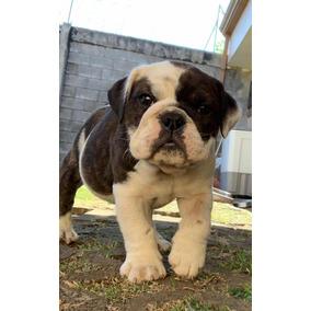 Bulldog Inglés Tengo 2 Machos Y Una Hembra