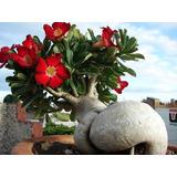 50 Sementes P/ Mudas Rosa Do Deserto Adenium (frete Grátis)
