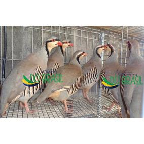 Ovos Galados De Perdiz Chukar (ave Doméstica)