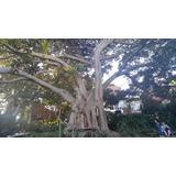 Frete Grátis + 20 Sementes Ficus Macrocarpa Green Island Fig 7eff5f42a4