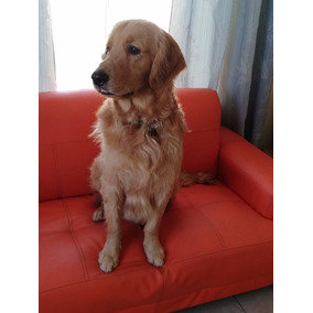 Busco Novia Para Mi Golden Retriever