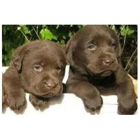 Cachorros Labradores Chocolate Envíos A Todo El País!