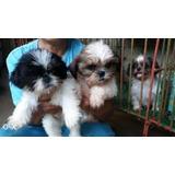 Bonitos Cachorros De Shih Tzu Para Adopción
