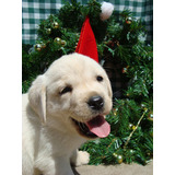 Extraordinarios Cachorros Labradores Retriever Inscritos
