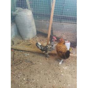 Vendo Gallo Cebray