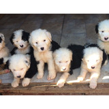 Sheep Dog Lindos Filhote