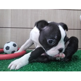 Cachorros De Boston Terrier Para Adopción