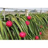 Venta De Plantas De Pitahaya Roja