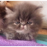 Hermosos Gatos Persa Extremos