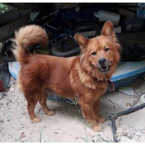 Doação De Lindos Filhotes De Chow Chow Com Labrador