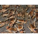 Grillos Chicos X 50 Ideal Para Crías De Reptiles Aves Etc