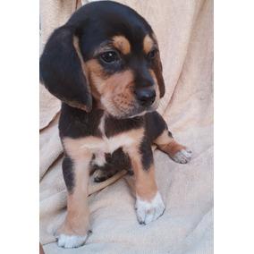 Beagle Americanos Machos