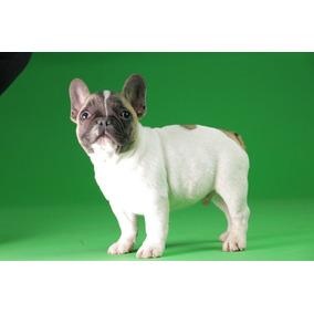 b83886196d1bb Cachorro Para Adoptar Perros Raza Bulldog en Guanajuato en Mercado ...