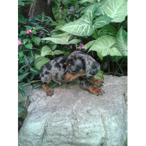 Dachshund Salchichas Machitos Arlequines Minis Pedigree