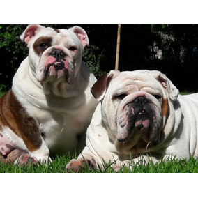 Bulldog Ingles Para Servicio De Stud