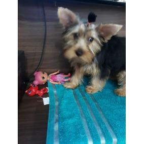 Linda Filhote Femêa De Yorkshire Terrier - Pronta Entrega