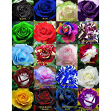 190 Semillas Rosa Exoticas 20 Colores Arcoiris Rojo Azul