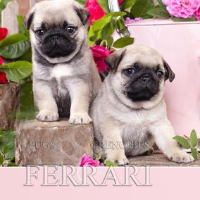 Pug - Olha Só Que Lindos Pug Filhotes !!!