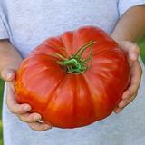 20 Semillas De Tomate Gigante Italiano Cuore Di Bue Cultivo