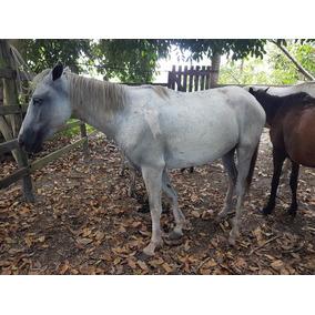 Cavalo E Éguas Manga Larga Paulista Em Porto Seguro Bahia