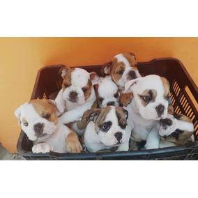 4cc9aa503b5c1 Perros Bulldog Frances Cachorros Baratos en Querétaro en Mercado ...