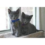 Gato Azul Ruso 45 Dias Excelentes