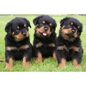 Cachorros Rottweiler Aceptamos Tarjetas! Envios