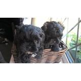 Adorables Cachorros Shih Poo A La Venta