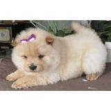 Bonitos Cachorros De Chow Chow Para Su Adopción.