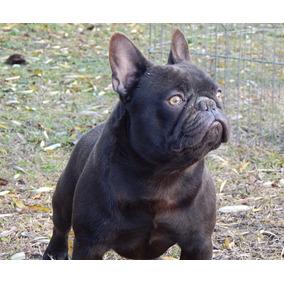 Bulldog Frances Blue Perros De Raza En Mercado Libre Argentina