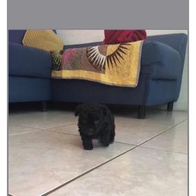 Cachorros French Poodle Tacitas Negros