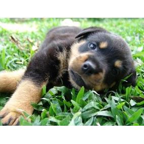 Lindos E Adoráveis Filhotes De Rottweiler