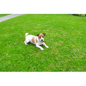 Servicio De Stud - Jack Russell Terrier - Region La Plata